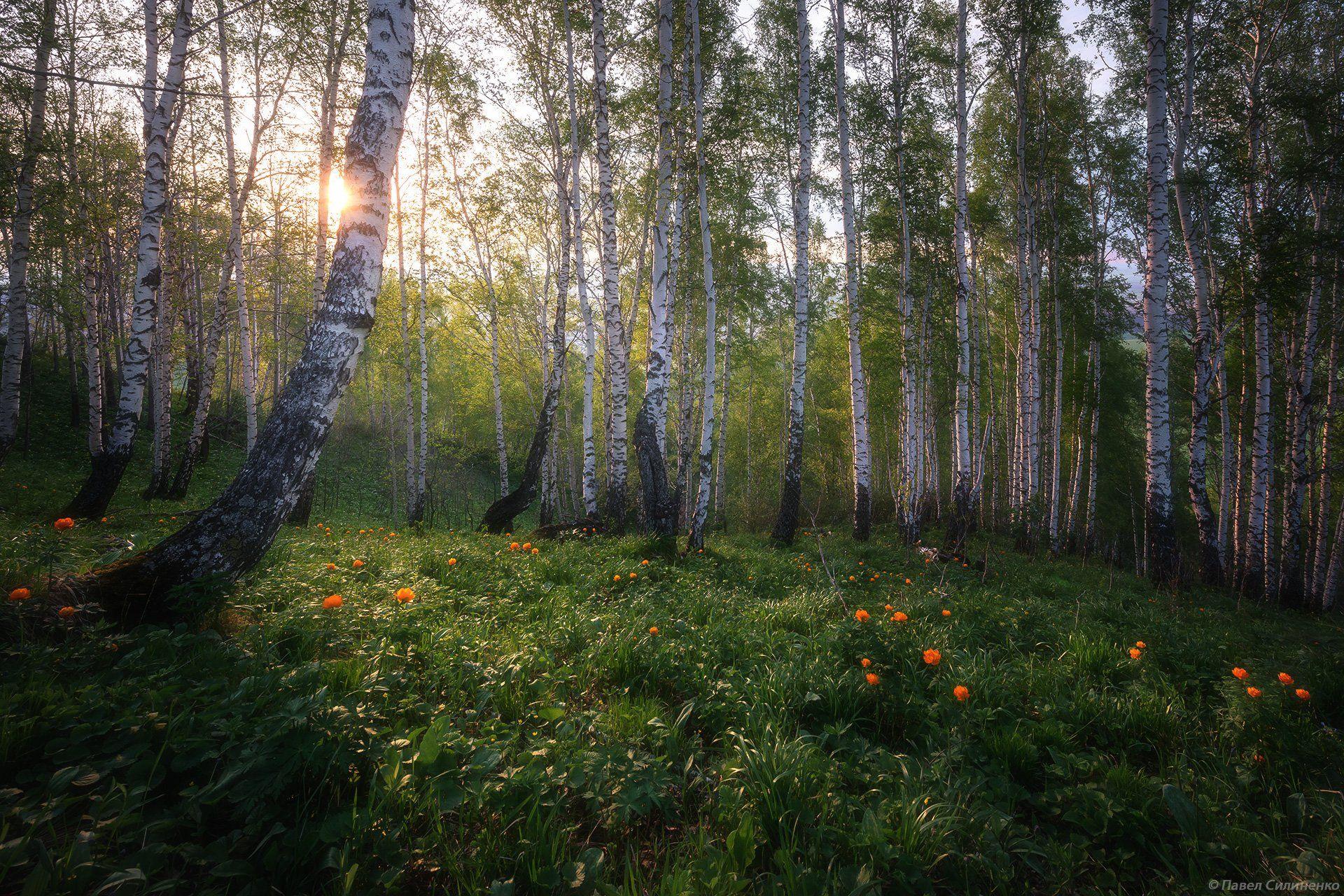 алтай, белокуриха, пейзаж, закат, вечер, весна, береза, свет, огоньки, Павел Силиненко