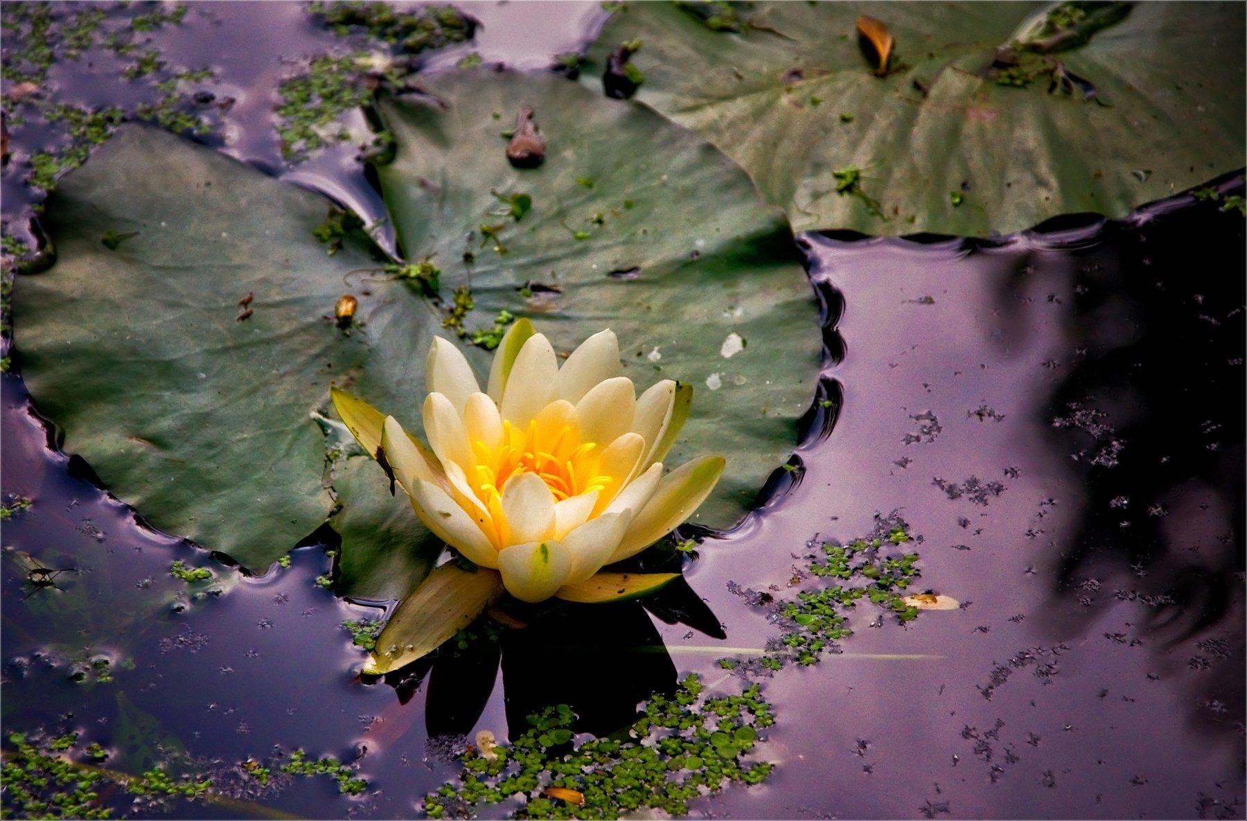 nature, природа,  растение, листья, макро, цветы,  весна, лето,  красота,  зеленый,цветок, кувшинка, лепестки, вода, пруд, озеро, река, Михаил MSH