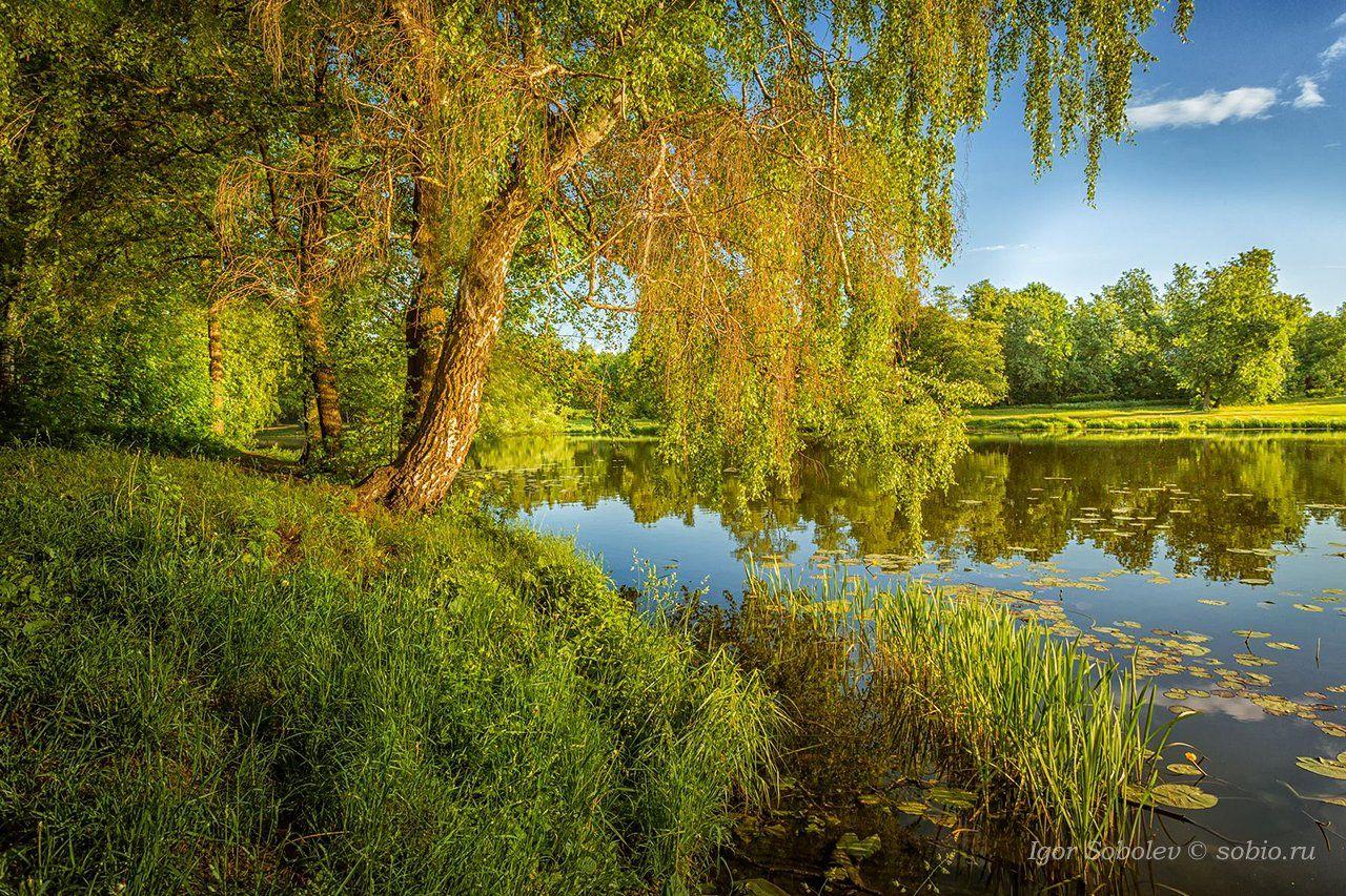 утро, лето, озеро, пруд, кузьминки, пейзаж, morning, summer, lake, pond, kuzminki, landscape,, Соболев Игорь