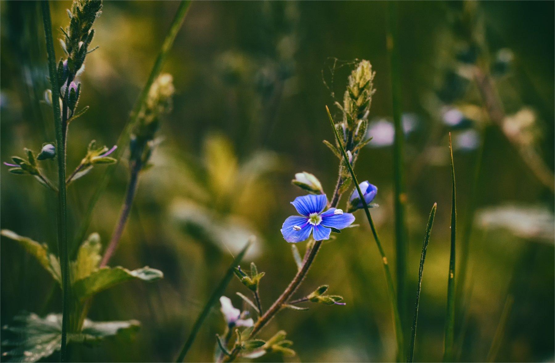 nature, природа,  растение, листья,,  цветы, цветок, макро, цвести,  весна, красота, лето, вероника, полевые цветы, зеленый, синий, Михаил MSH