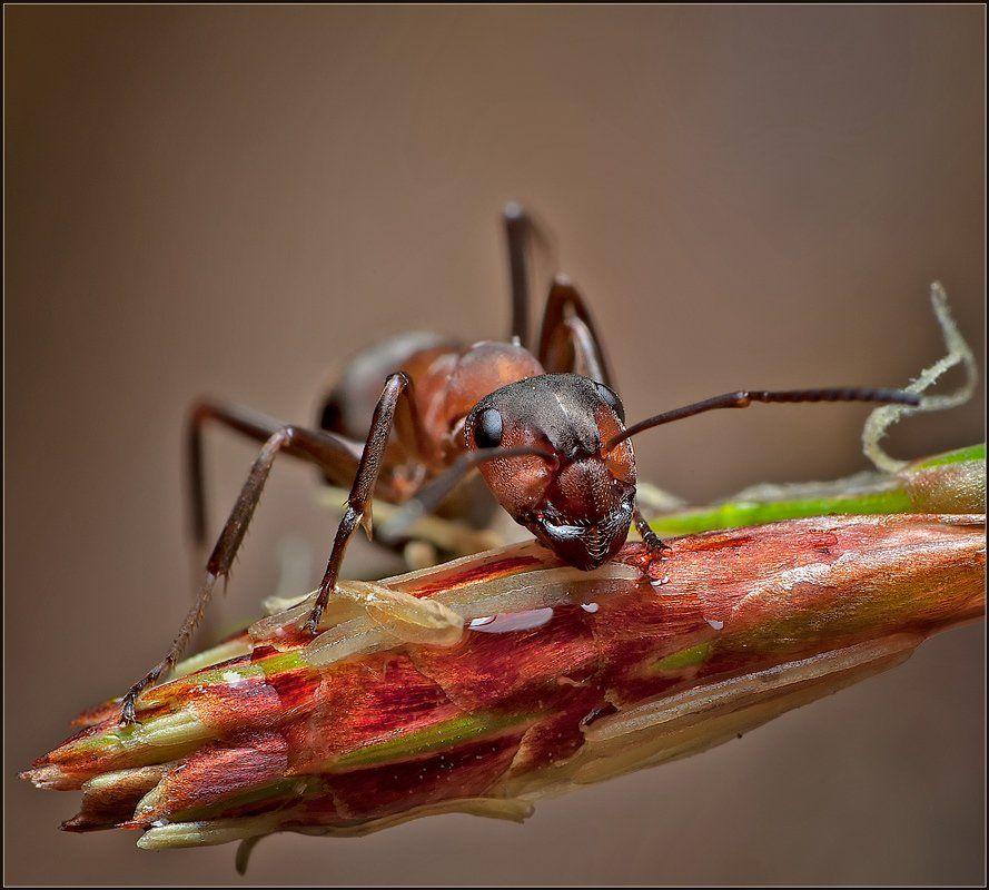 макро,муравей,, Евгений Кирилкин.