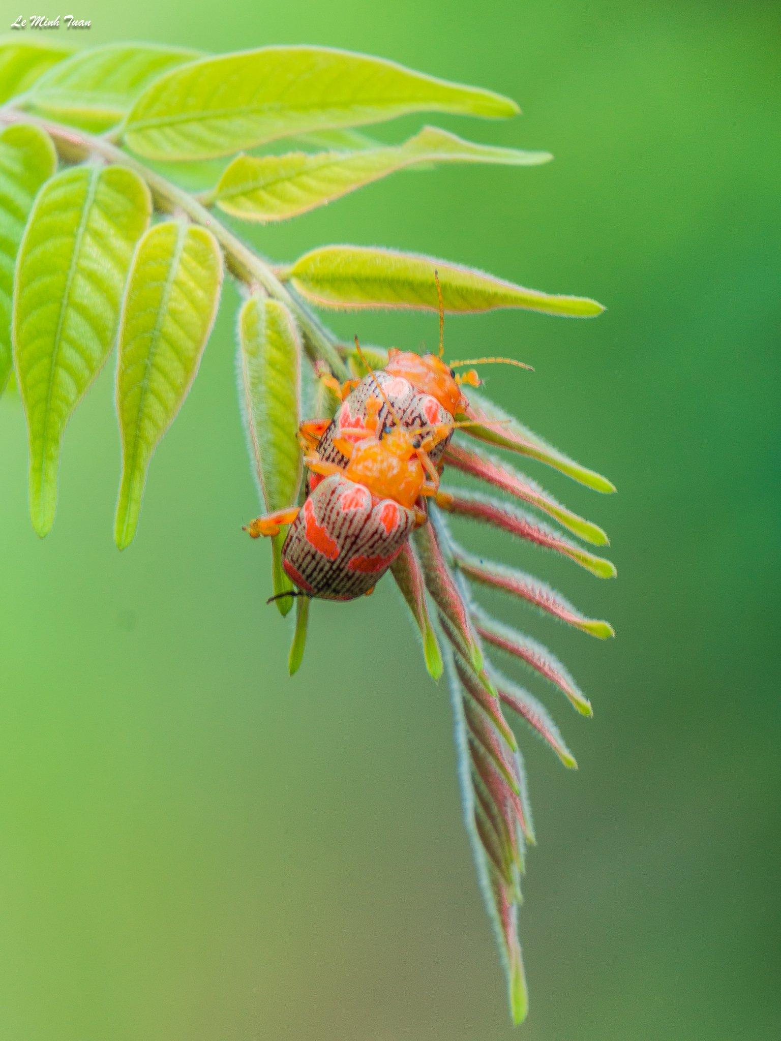 Insect, Lê Minh Tuấn