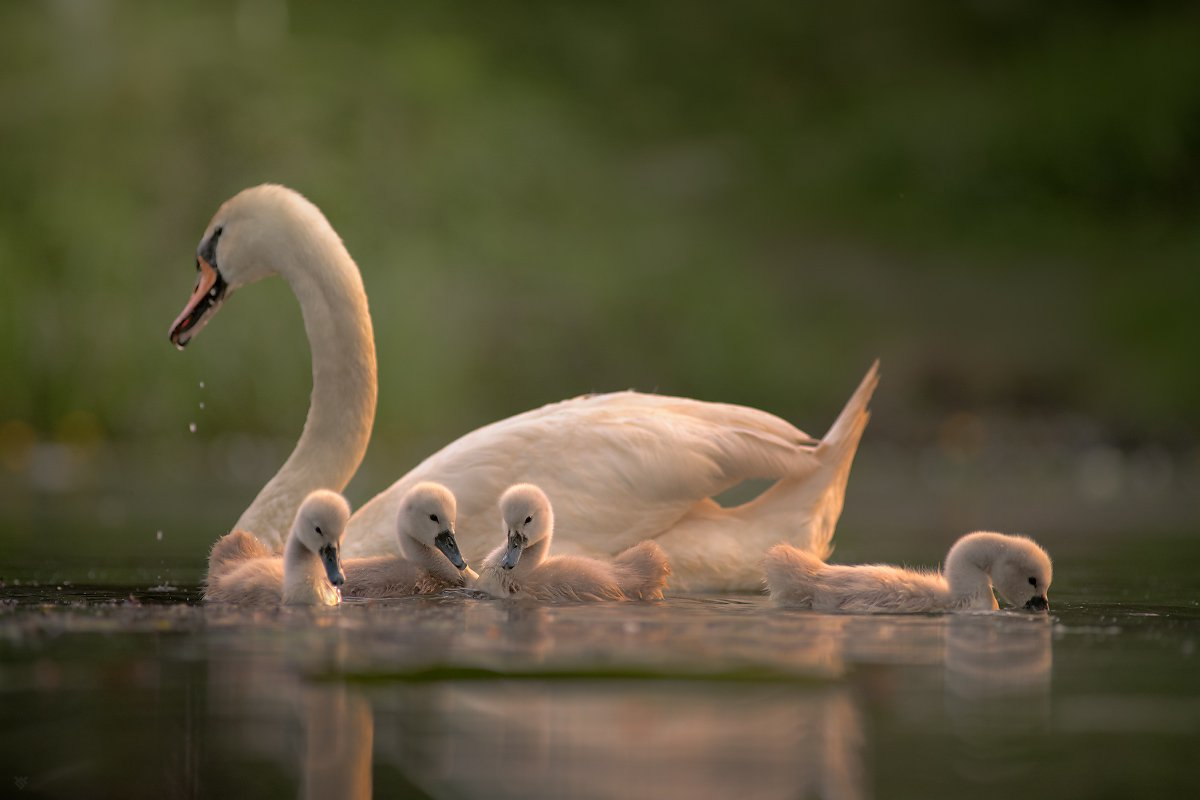 swan, wildlife, birds, Wojciech Grzanka