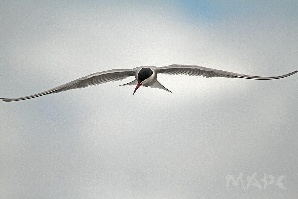 животные птицы лето птица крачка, Шангареев Марс