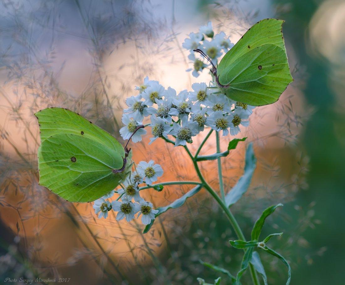макро, бабочка, лето, июль, красиво, растение, насекомое, вечер, украина, Сергій Мірошник