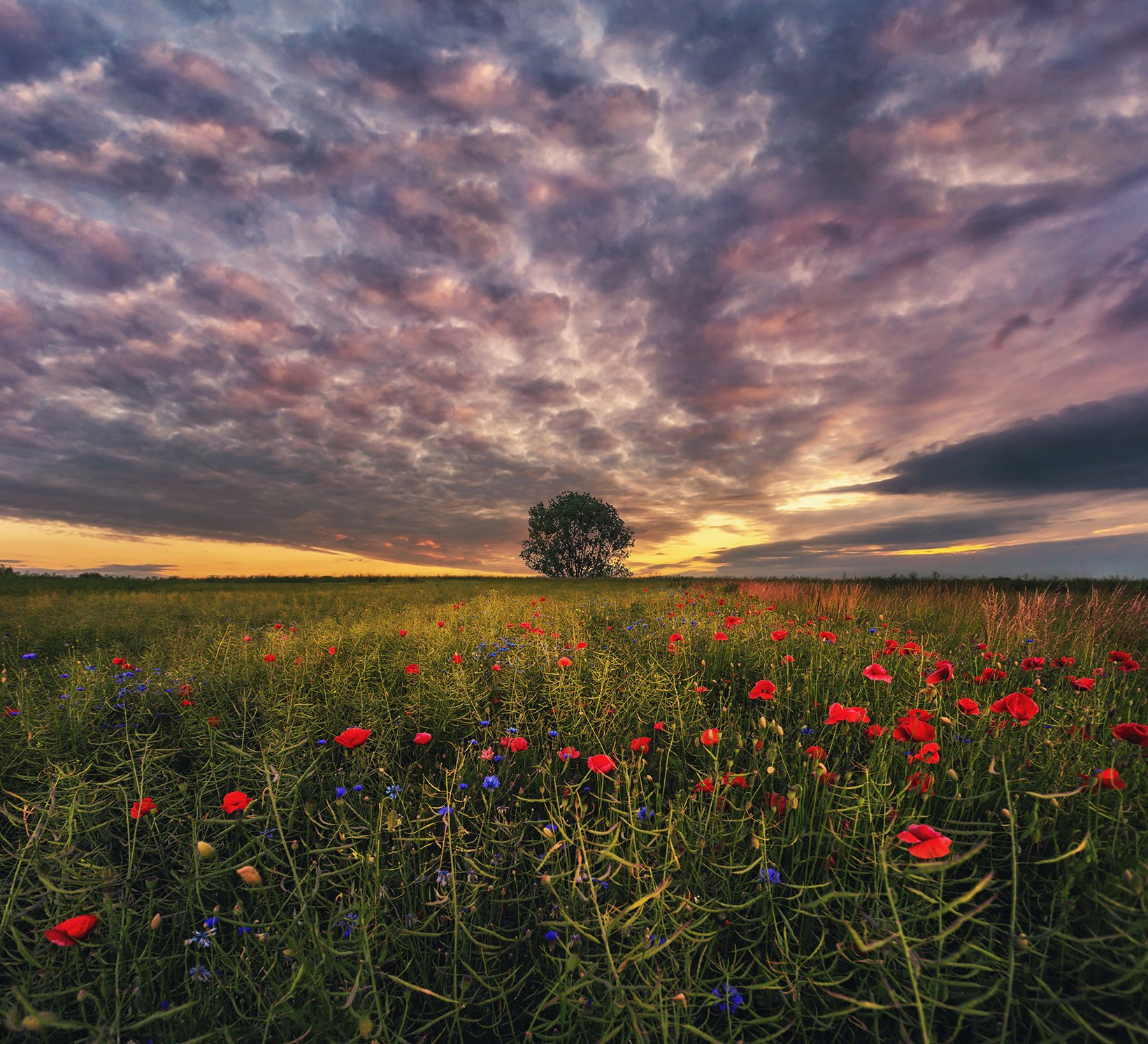 poppy, field, sunset, sunrise, Poland, sky, clouds, tree, landscape, Patrycja
