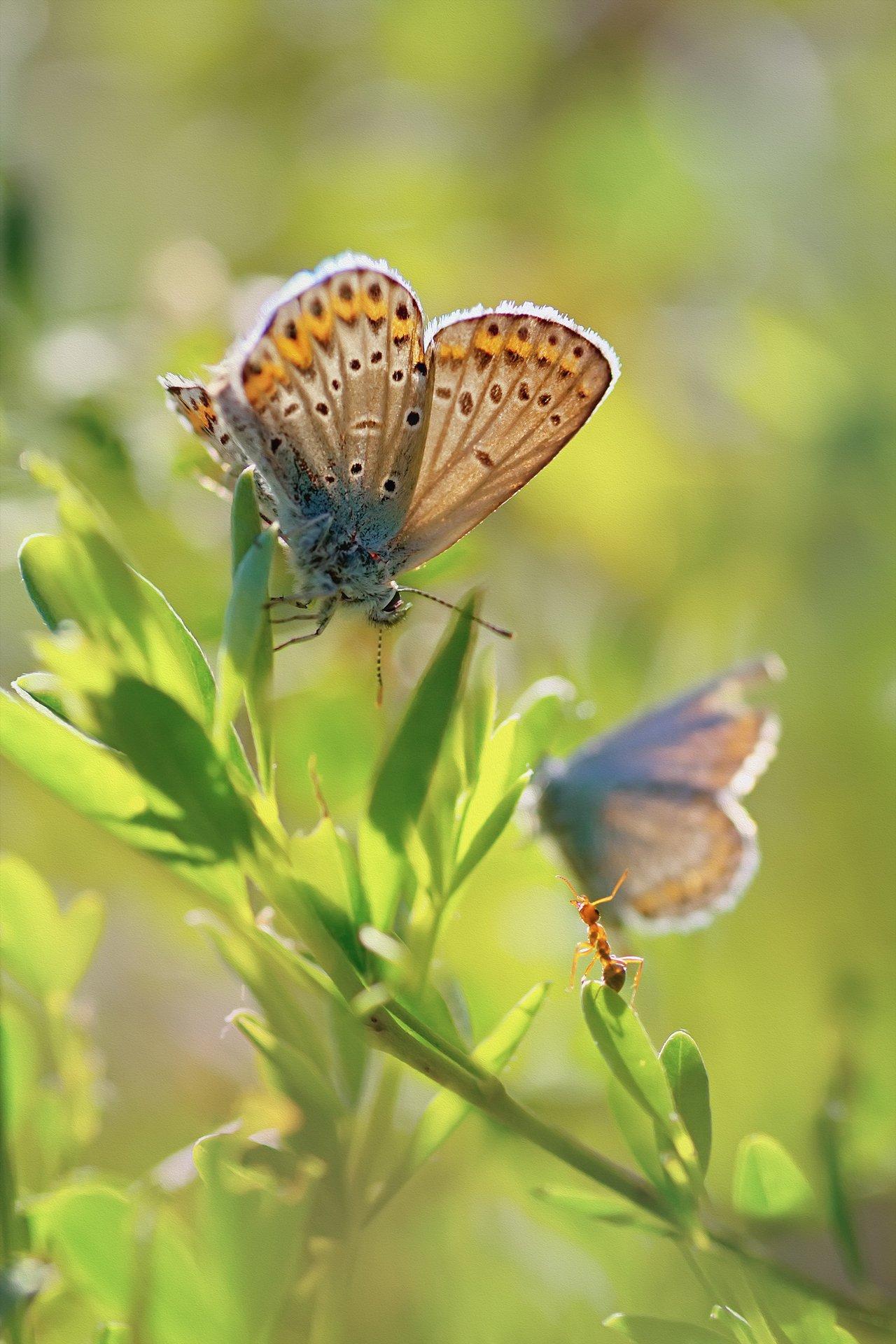 бабочка,ветка,цвет,красный,желтый,крылья,муравей, Котов Юрий