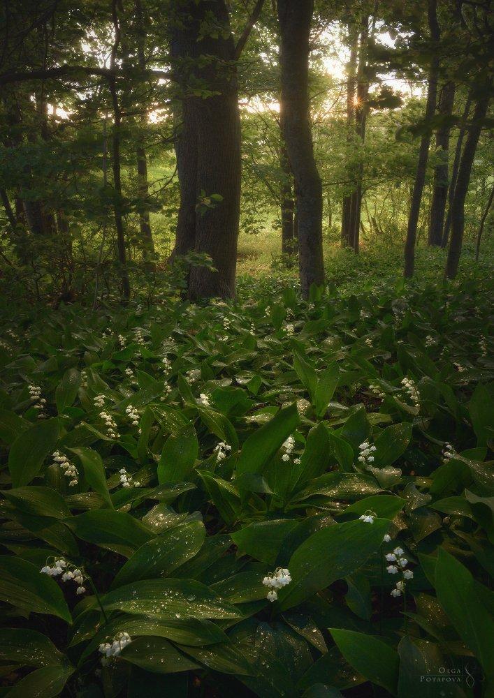 ландыши, цветы, листва, зелень, лето, весна, закат, лес, ленинградская область, роса, Ольга Потапова