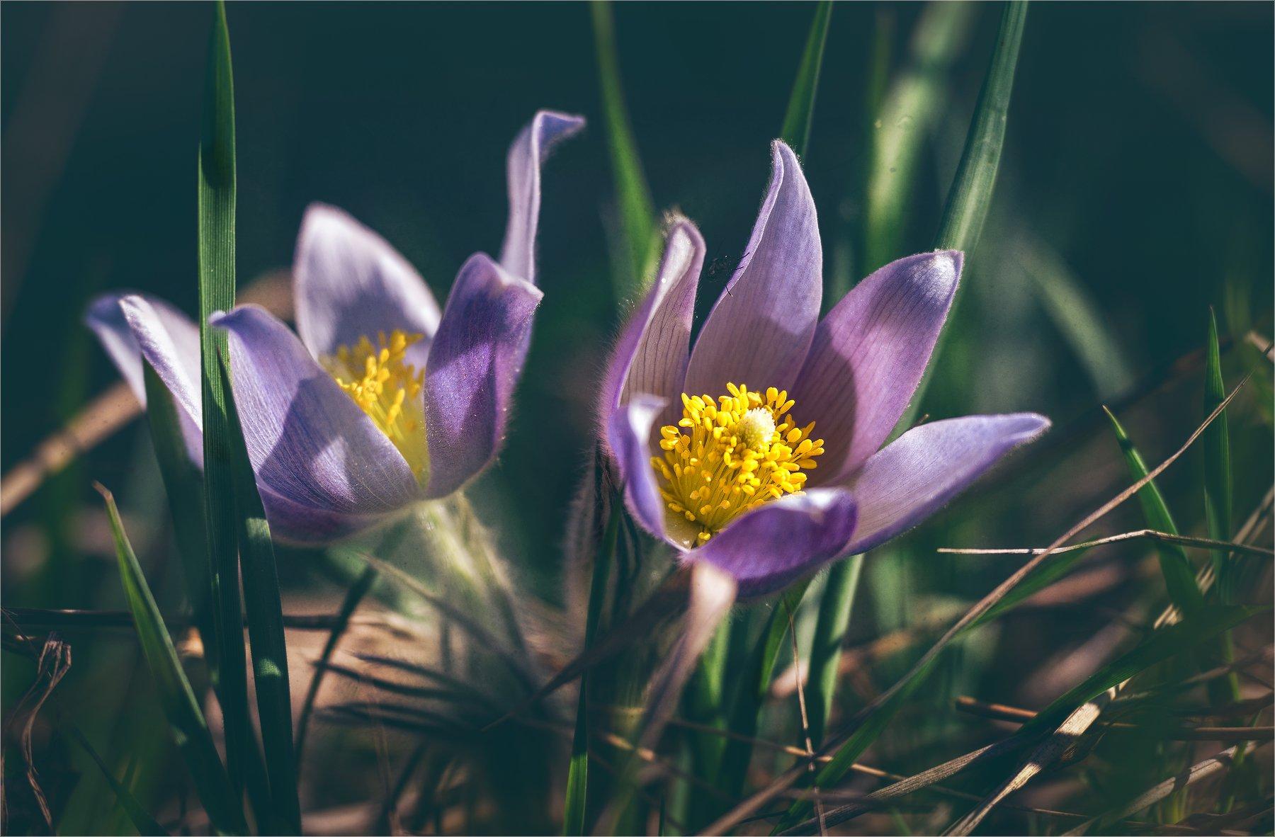 nature, природа,  растение,  солнечный свет, цветы, цветок, макро, цвести,  весна, красота, сон-трава, весна, Михаил MSH