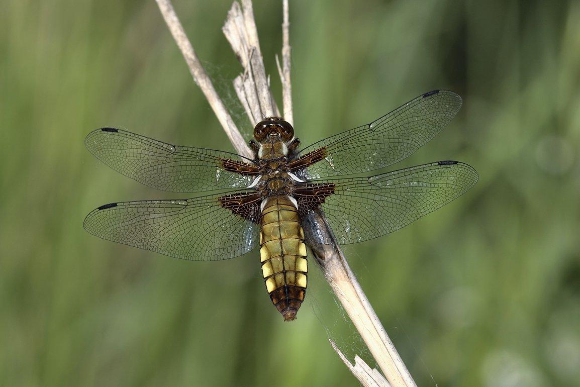 стрекоза dragonfly damselfly, Jaroslav Mego