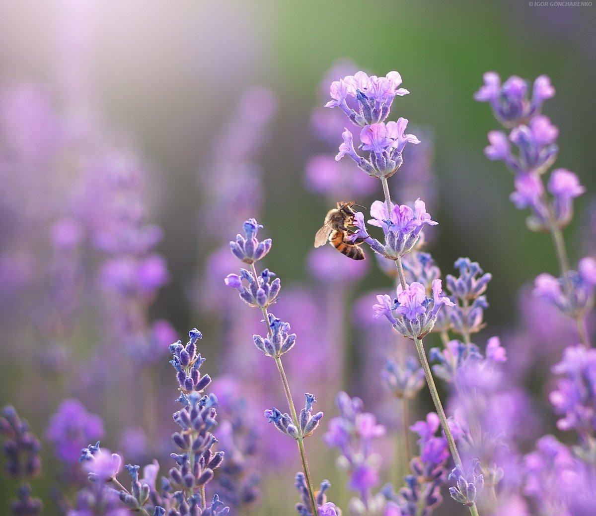 лаванда, пчела, цветок, портрет, близко, макро, пейзаж, нектар,, Игорь