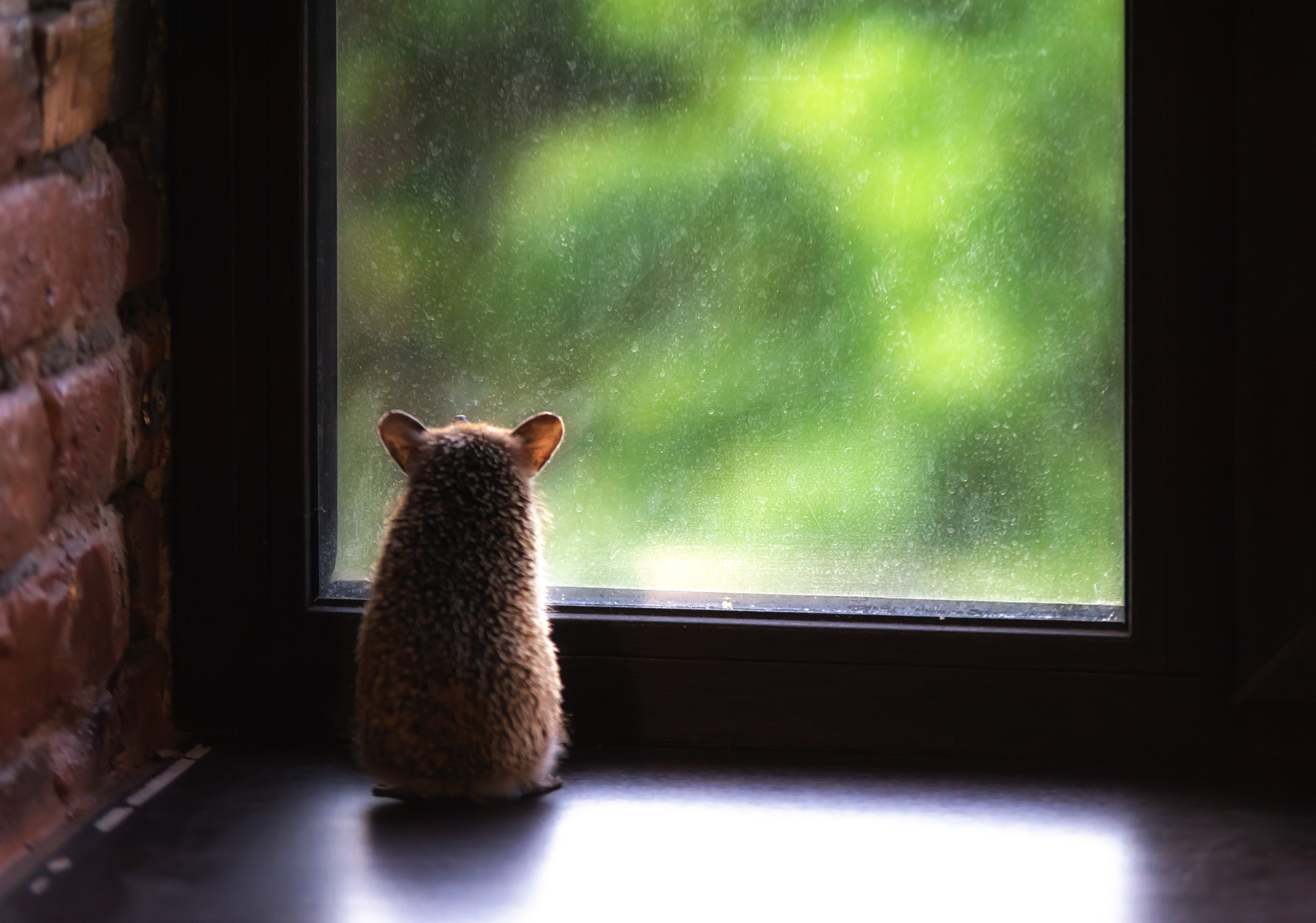 еж, сидит, окно, смотрит, Логачёв Илья
