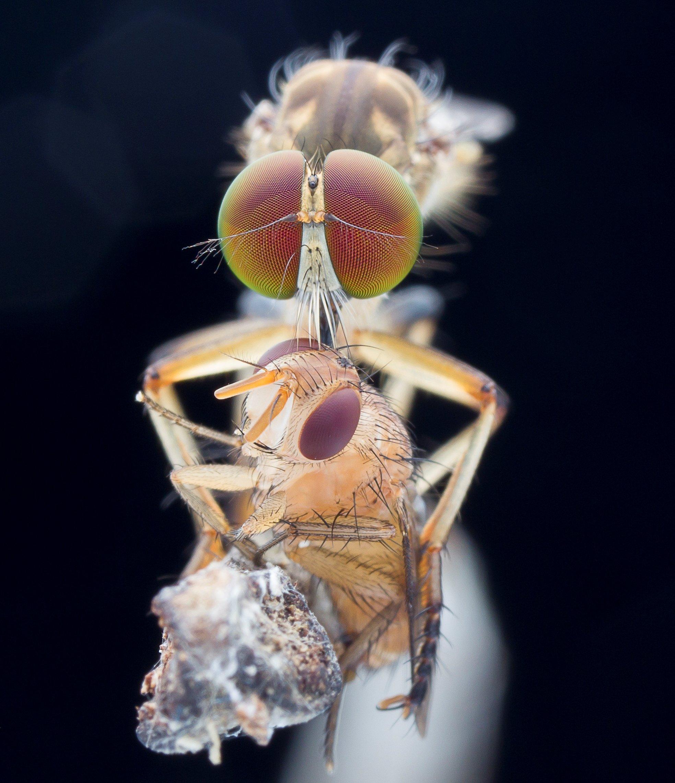 #macro#robberfly#prey#colors, Lim Choo How