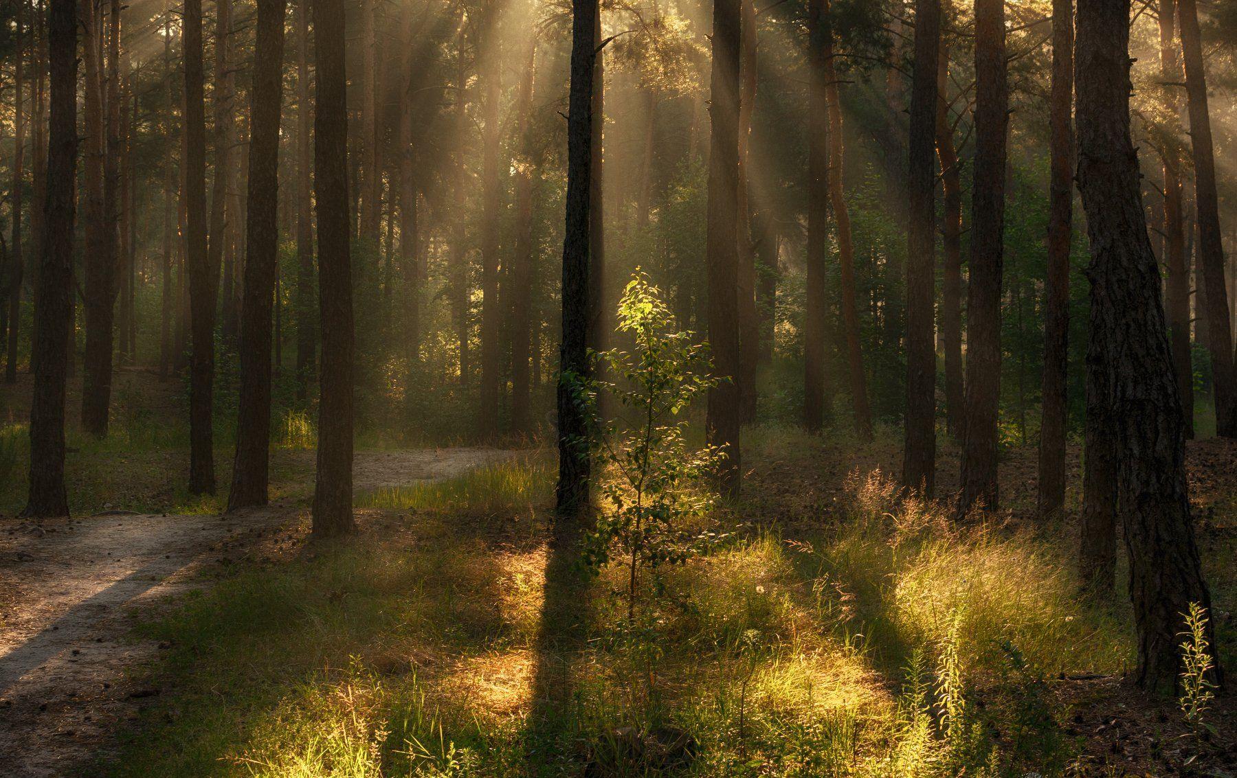 landscape, пейзаж, утро, лес, сосны, деревья, солнечный свет, солнечные лучи, солнце, природа, тропинка, прогулка, Михаил MSH