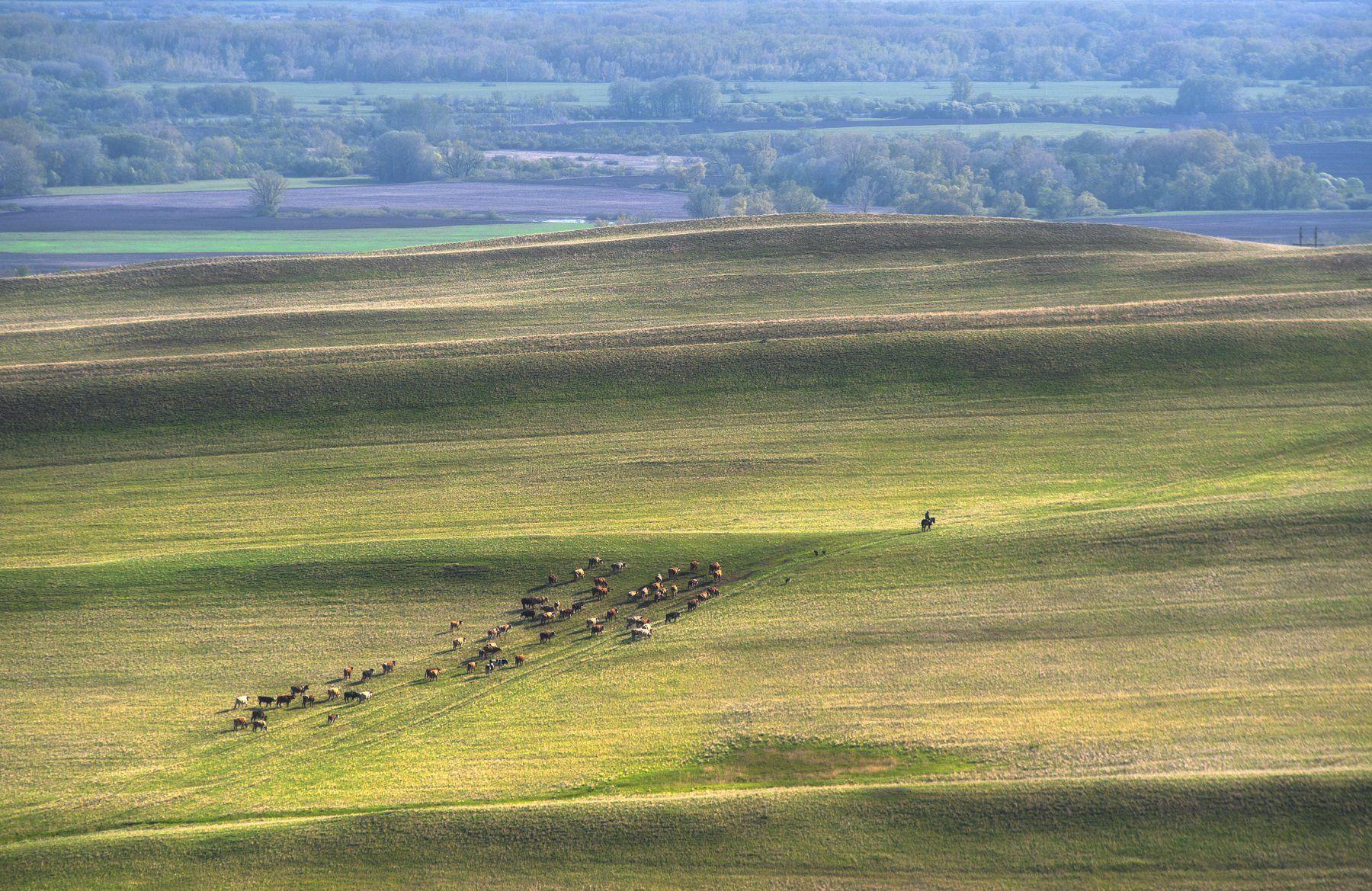 путь, домой, стадо, коровы, пастух, холмы, гора, линии, степь, поле, всадник, оренбуржье, Логачёв Илья