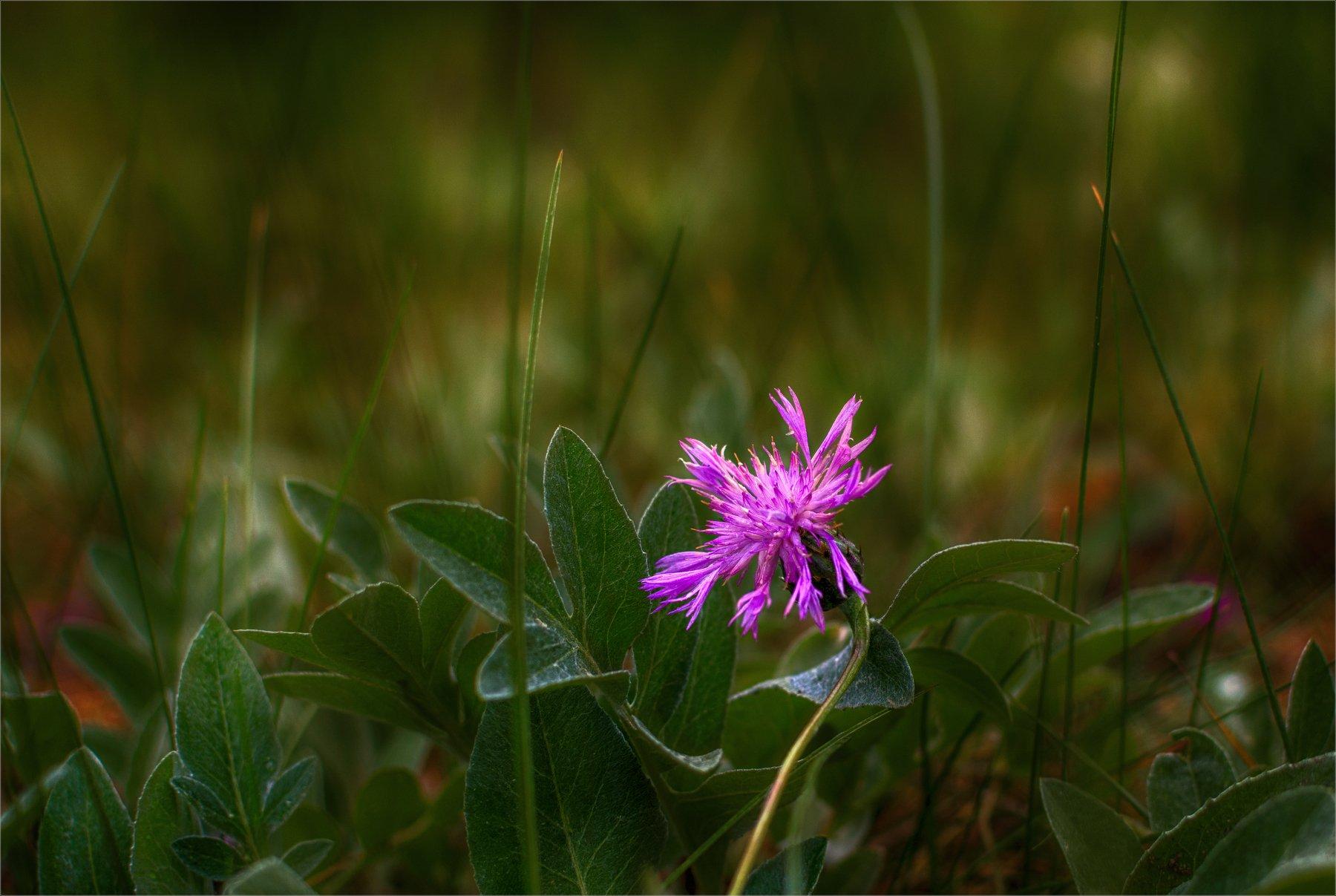 nature, природа,  растение,  солнечный свет, цветы, цветок,  цвести,  весна, красота, лето, трава, василек, Михаил MSH
