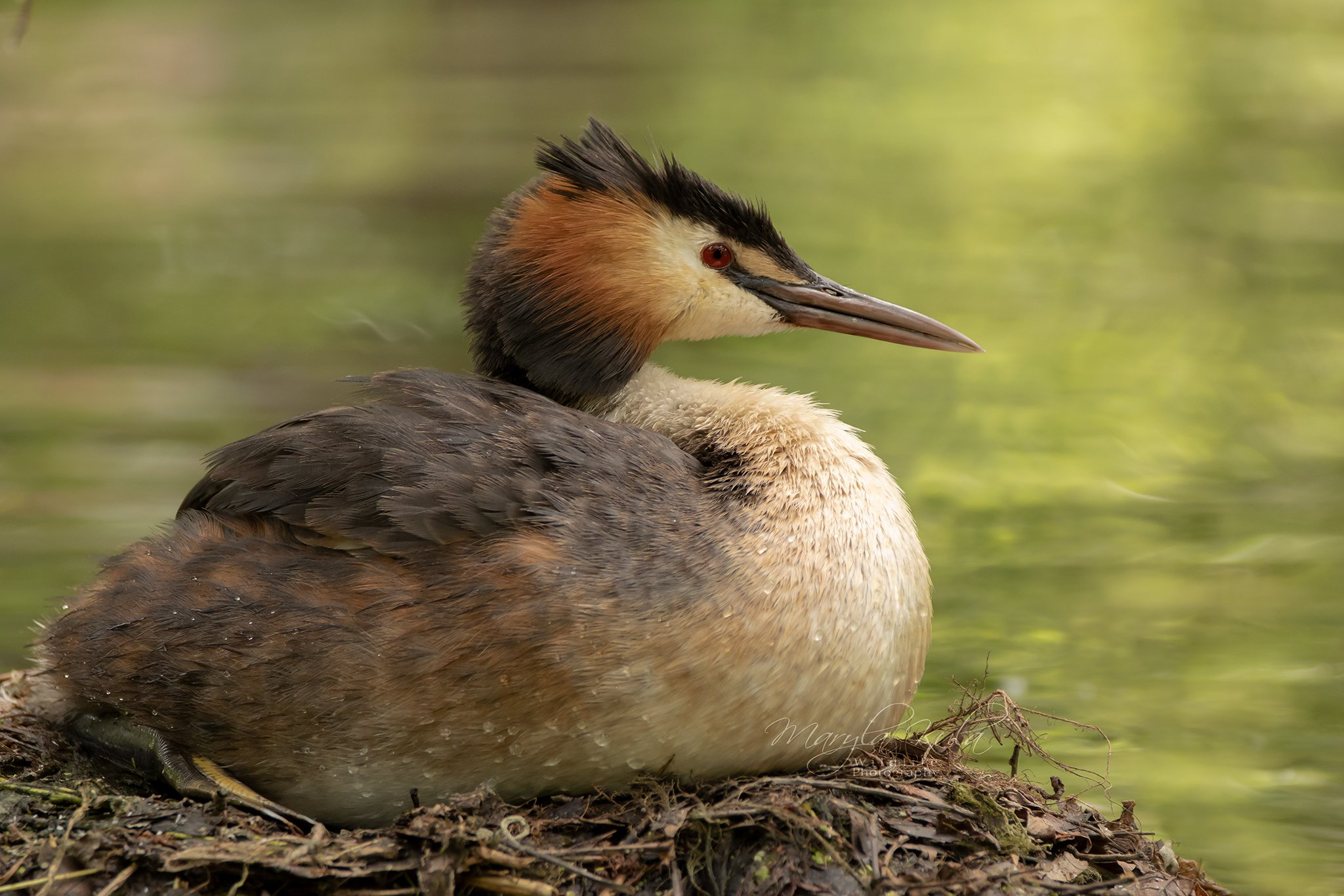 great crested grebe, grebe, birds, nature, wildlife, water, canon, sigma, MARIA KULA