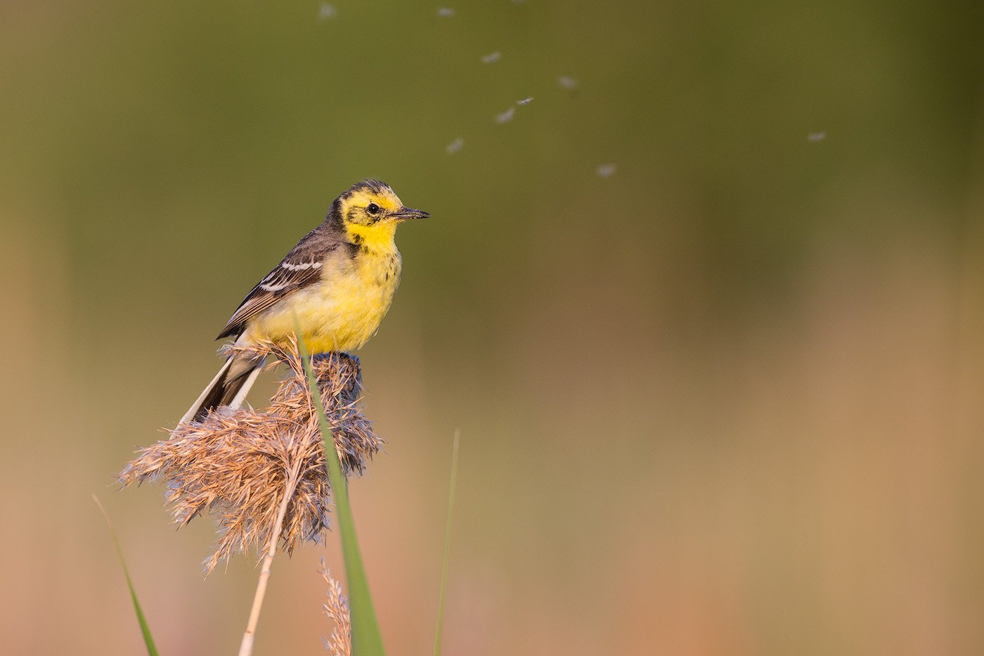 wagtail, bird, wildlife, citrine, трясогузка, желтая трясогузка, птицы, дикая природа, Голубев Дмитрий