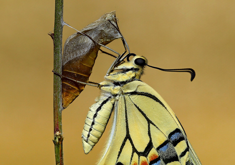 #swallowtail#butterfly#newborn#macro#nature#northcyprus#cyprus, Hasan Baglar
