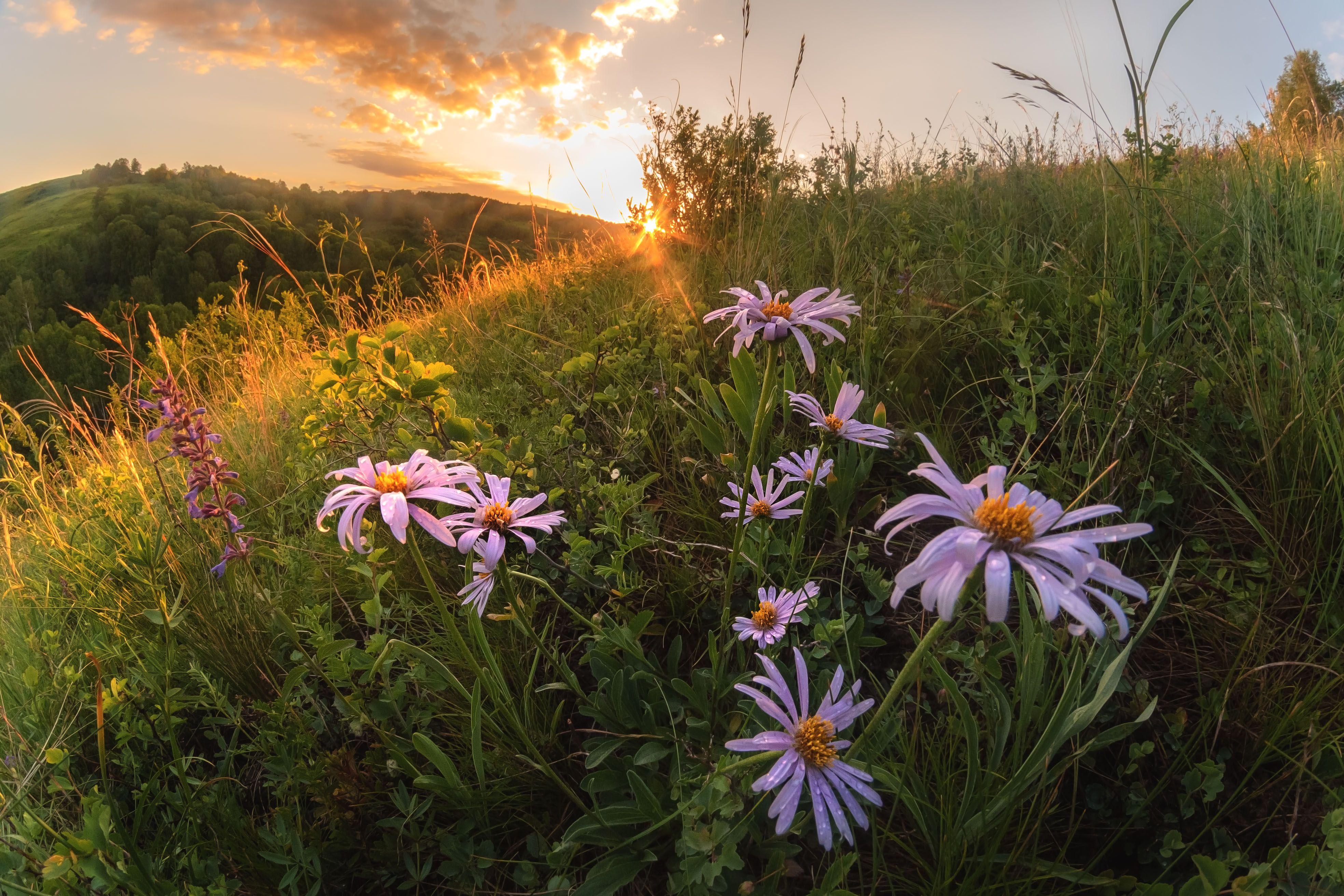 #цветы #астры #солнце #закат #вечер #пейзаж #лучи #природа #заповедник #лето #луг #холмы #ханхара #тигирекскийзаповедник #алтай #алтайскийкрай #nature #flowers #sun #sunlight #sunset #asters #hills #landscape #summer #evening #reserve #meadow #altai #tigi, Денис Соломахин