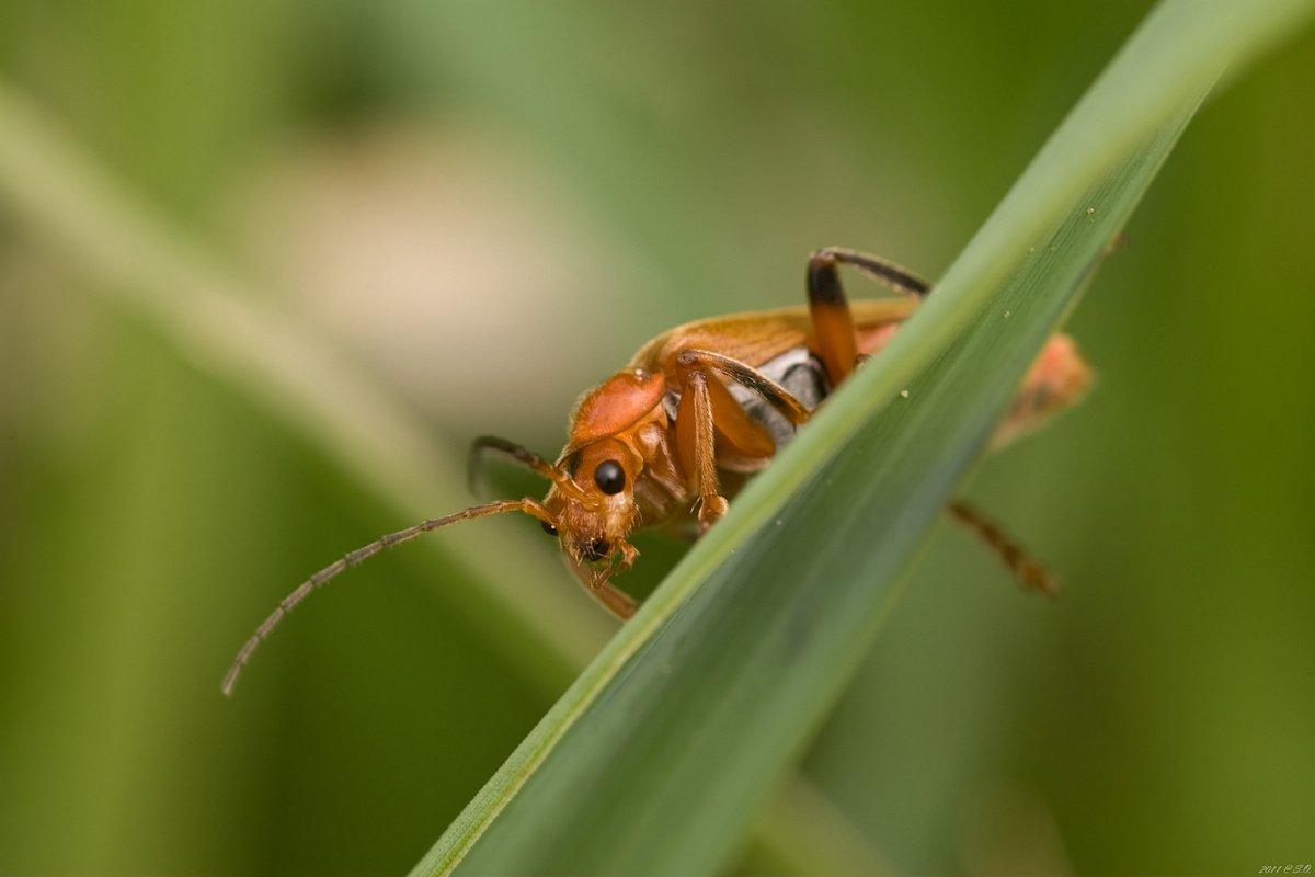 мягкотелки, , , soldier, , , beetle, , , weichkaefer, , , cantharidae, Eustignos Sergej