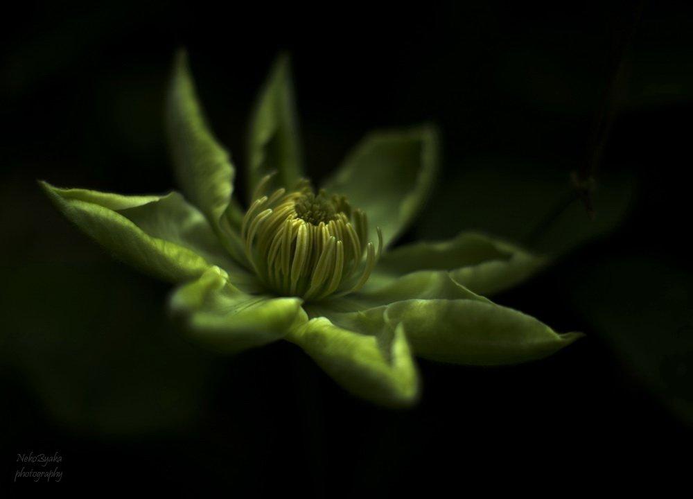 макро, клематис, растения, цветы, macro, flowers, plants, clematis, Мамакова Анжелика