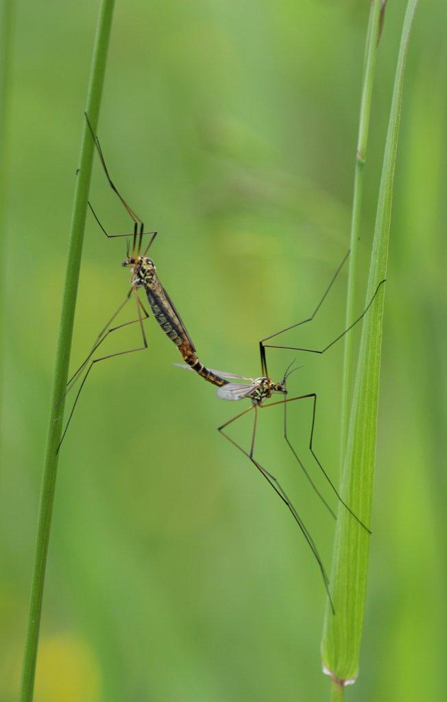 размножение, комары, Сергей Таланов