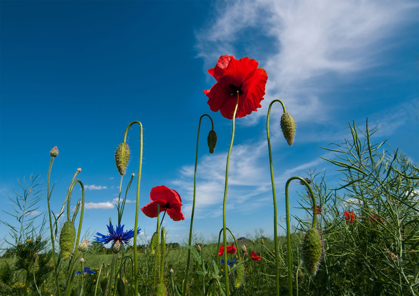 poppy,clouds,flowers,red, colors, Daiva Cirtautė