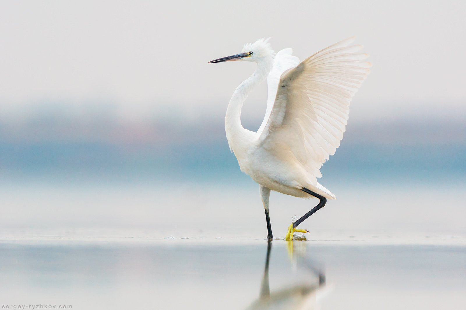 цапля, птицы, животные, природа, птица, украина, willdife, nature, birds, egret, , Сергей Рыжков