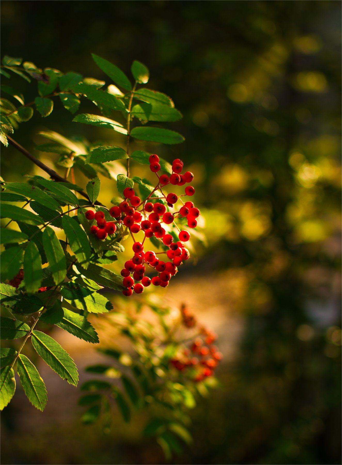 nature, природа, лес, куст, солнечный свет, ягоды, рябина, ветка, гроздь,, Михаил MSH