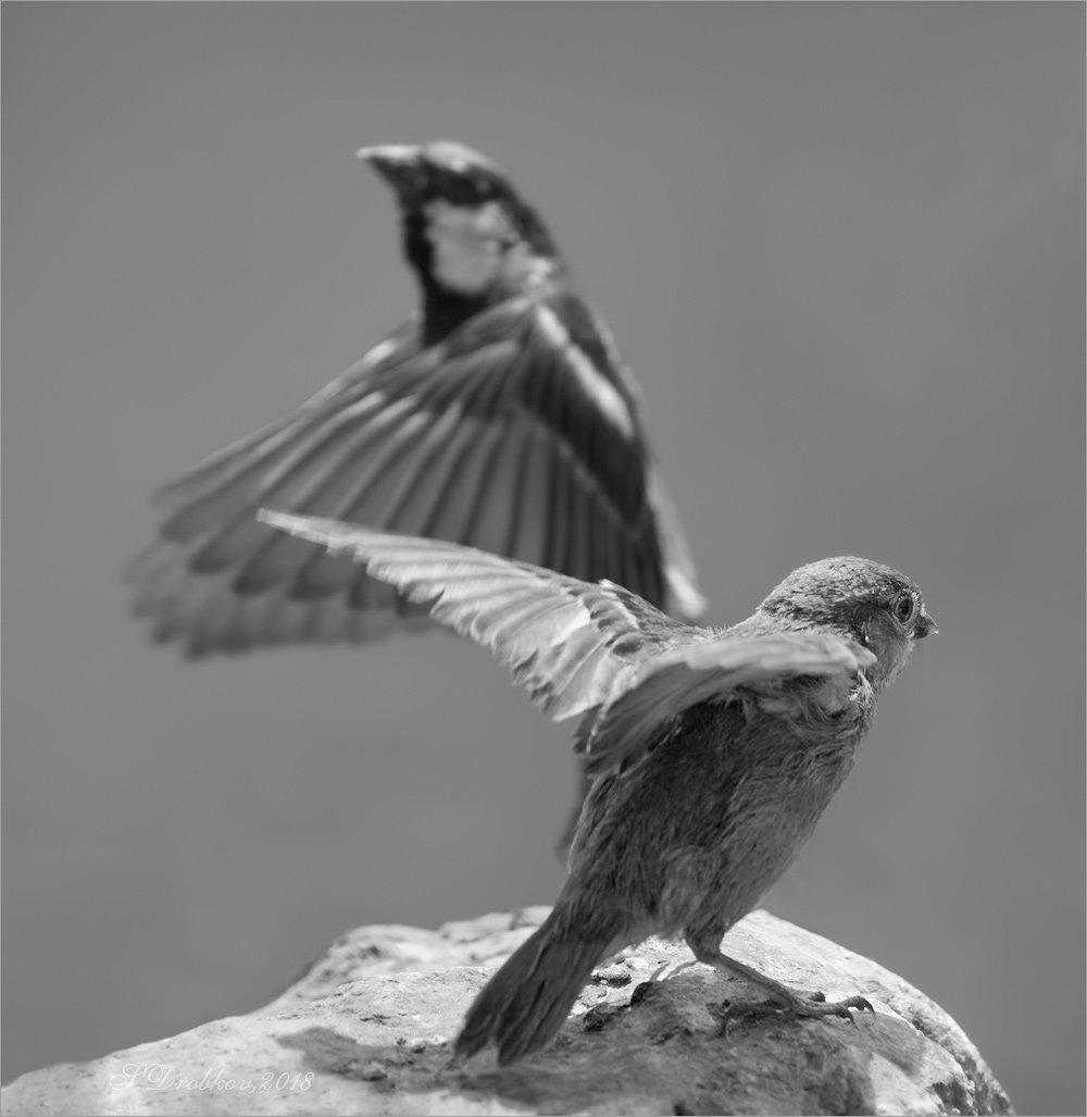 птицы, фауна, воробьи, Sergey Drobkov