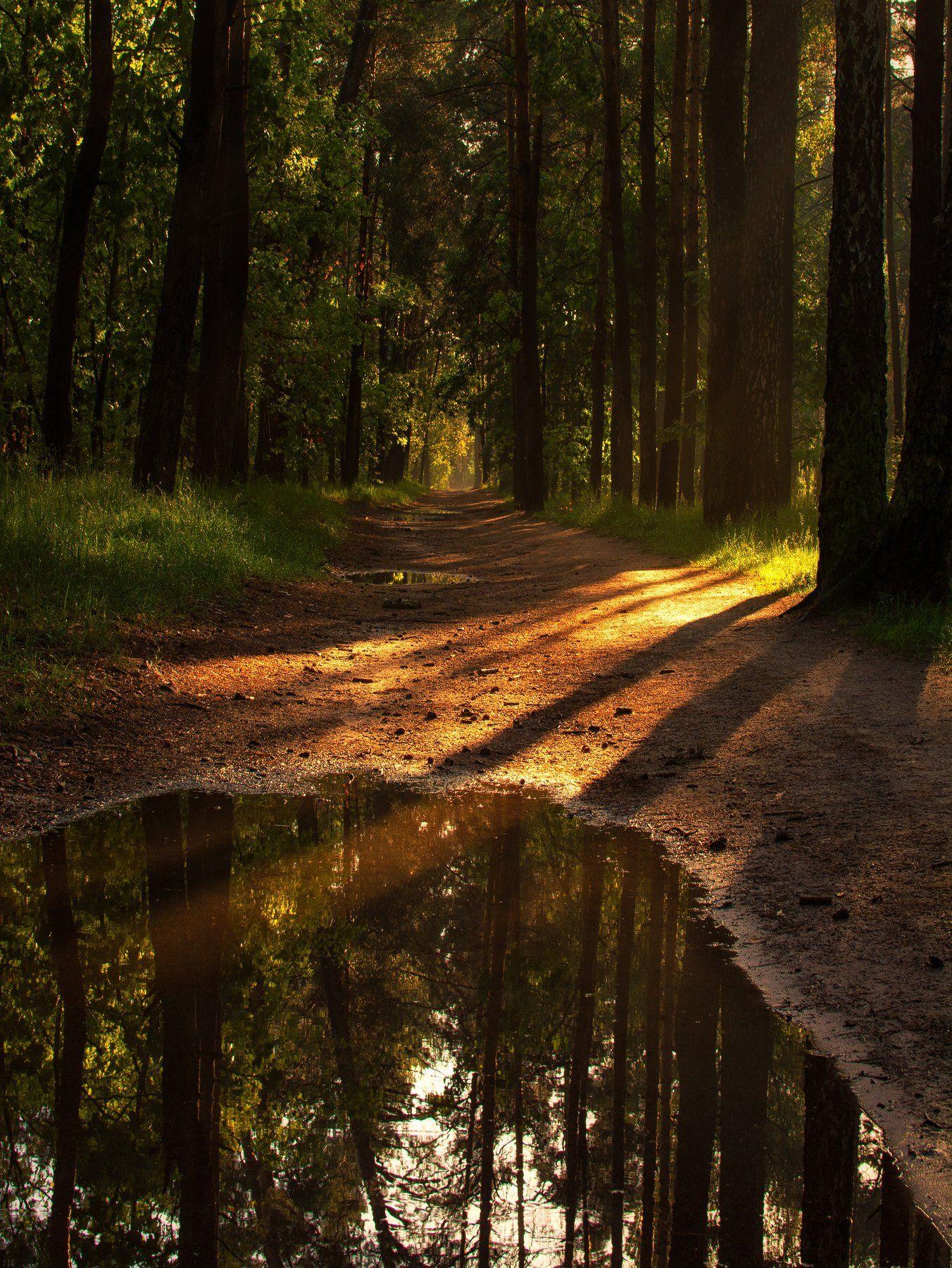 landscape, пейзаж, лес, природа, деревья, сосны, дорога, проселок, лужа, отражение, зеркало, прогулка, утро, солнце, солнечный свет., Михаил MSH