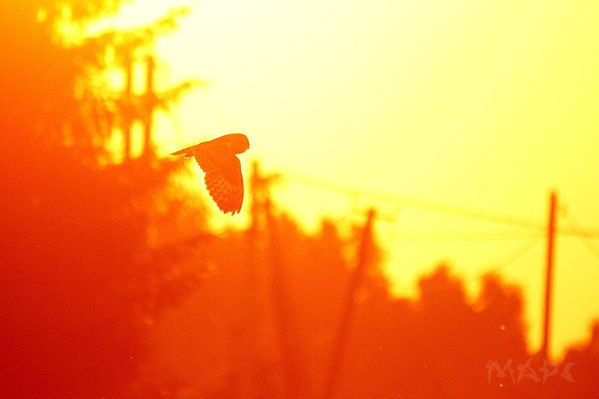 животные птица лето сова ушастая сова закат солнце деревня, Шангареев Марс