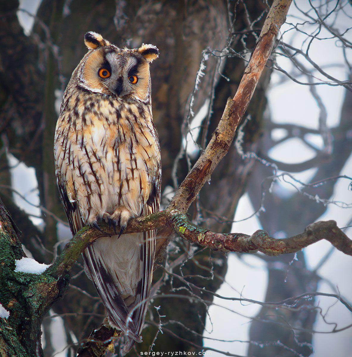 ушастая сова, сова, птицы, природа, birds, owl, wildlife, nature, animals, Сергей Рыжков