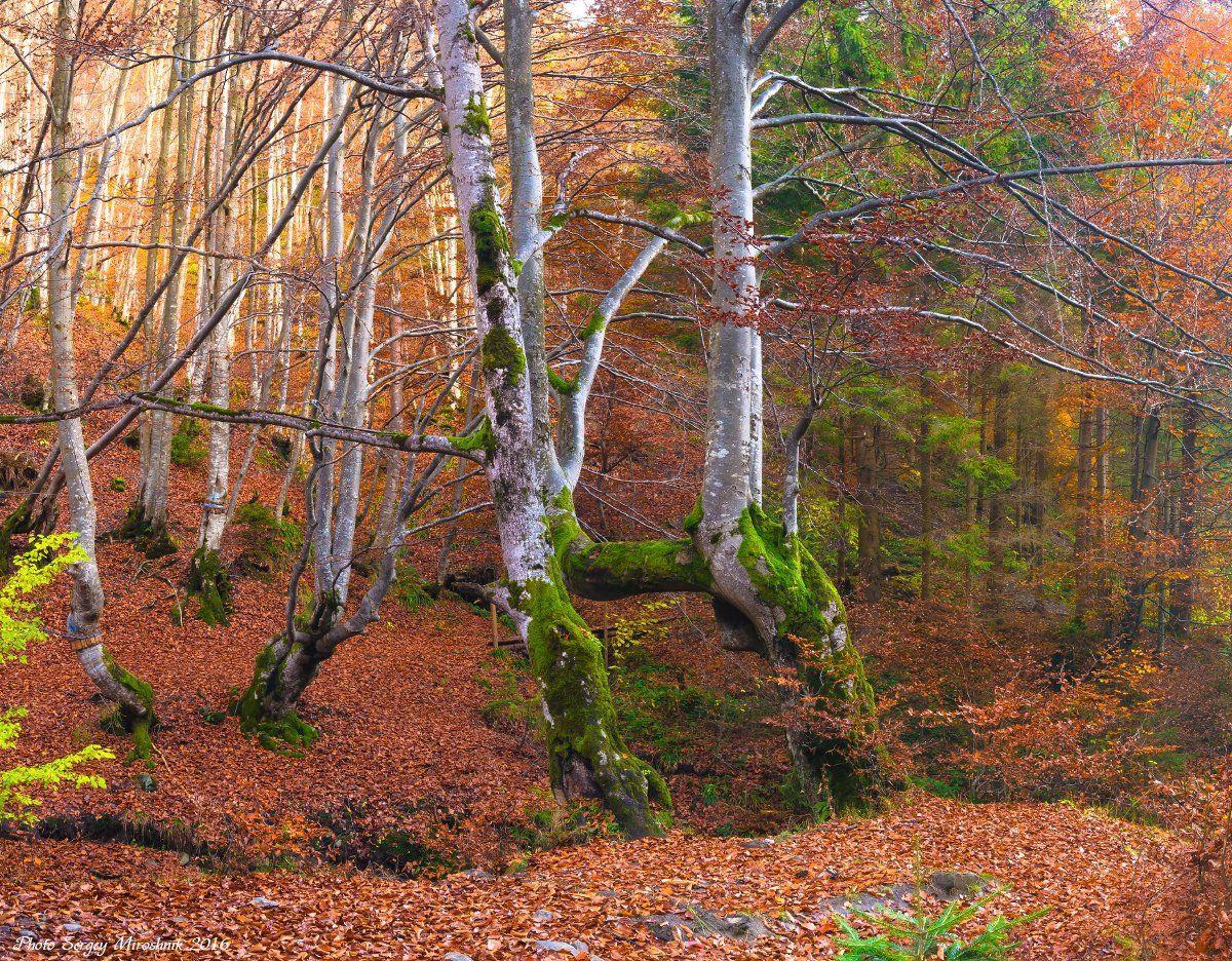 пейзаж, природа, лес, горы осень, буки, день, путешествие, трекинг, октябрь, украина, карпаты, Сергій Мірошник