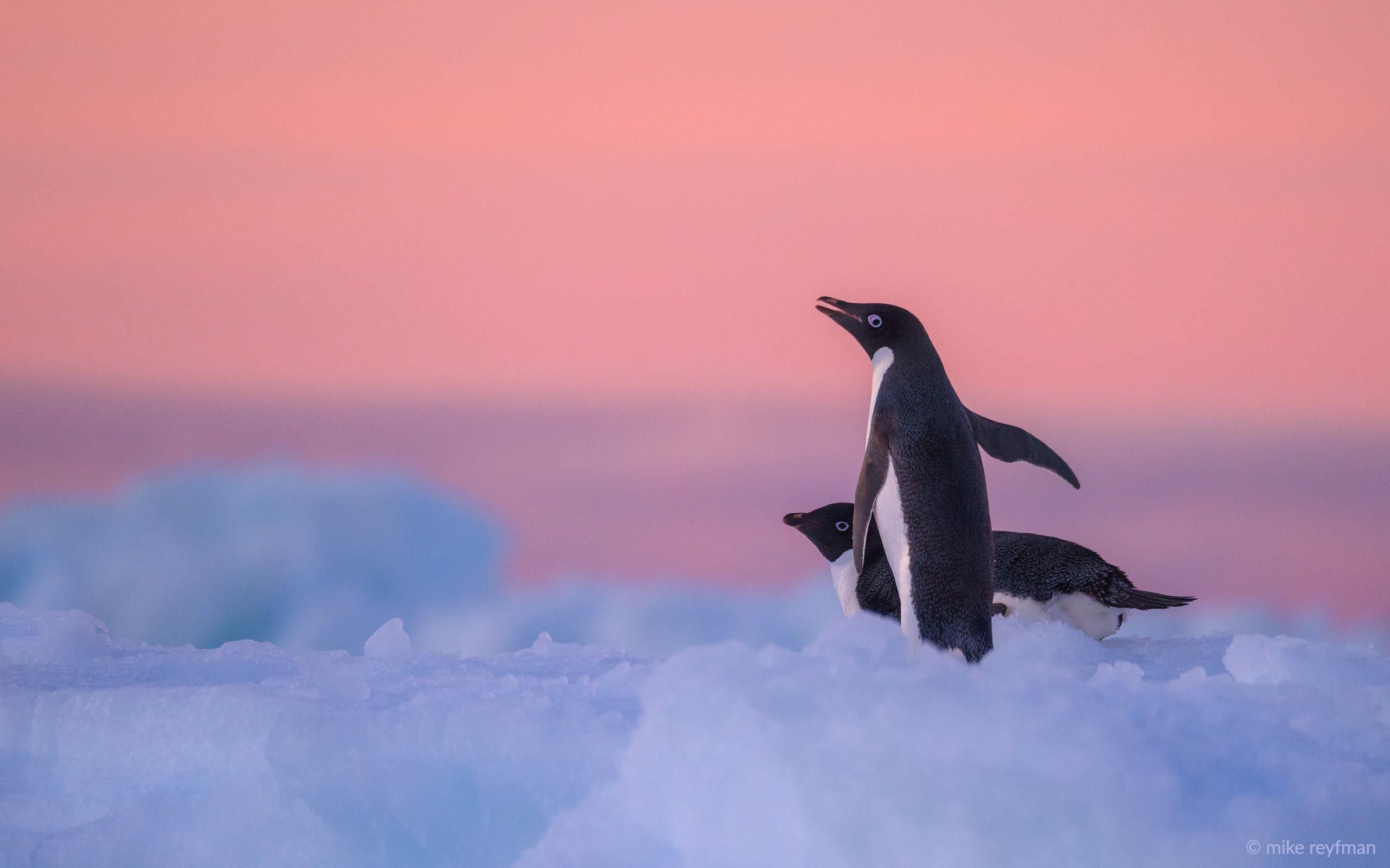 adelie, penguin, antarctic, antarctica, ice, blue, pink, cold, romantic, extreme, Майк Рейфман