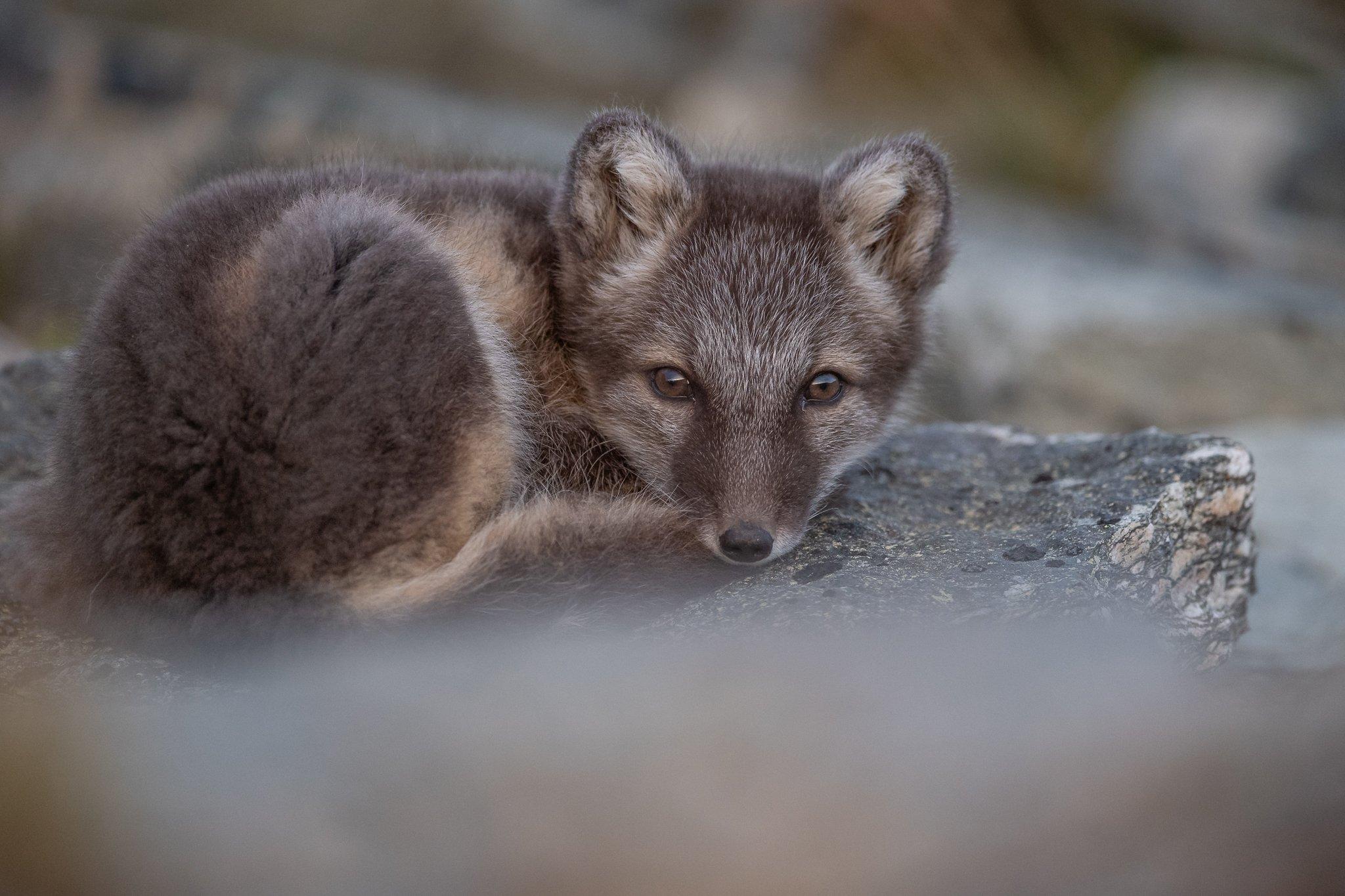 arctic fox, animal, fox, Arnfinn Malmedal