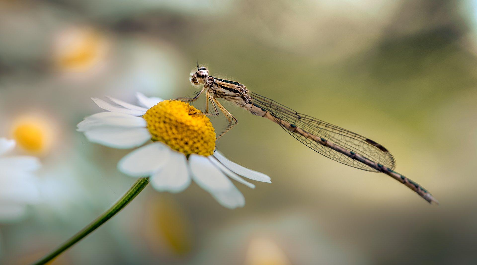 природа, макро, цветы, ромашка, насекомое, стрекоза, Неля Рачкова