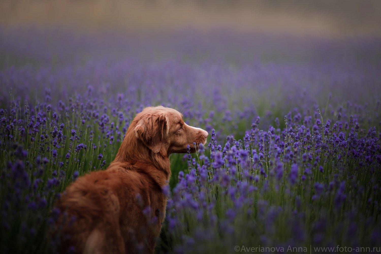 собака, лаванда, природа, Анна Аверьянова