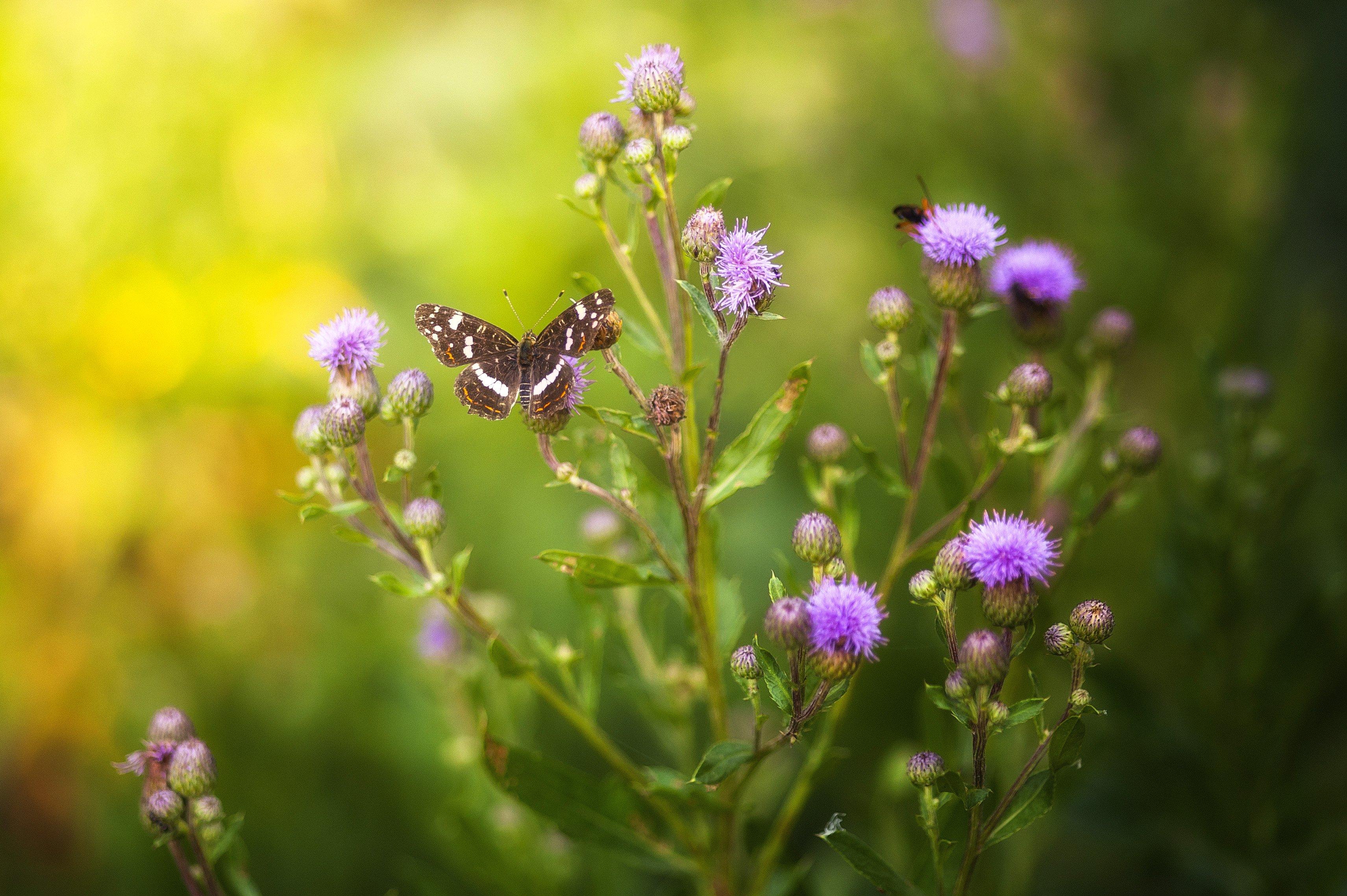 чертополох, бабочка, лето, свет, солнце, зелень, насекомые, трава, цветок, Логачёв Илья
