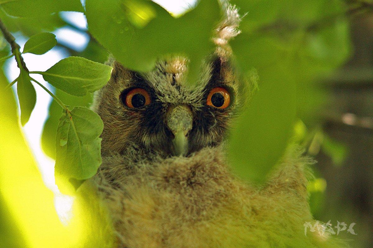 животные птицы совенок птенец ушастой совы, Шангареев Марс