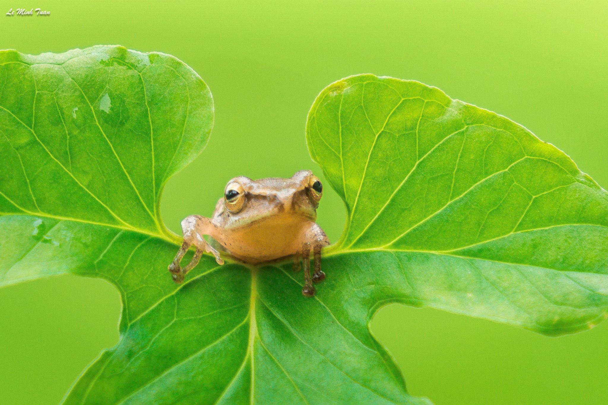 tree frog, Lê Minh Tuấn