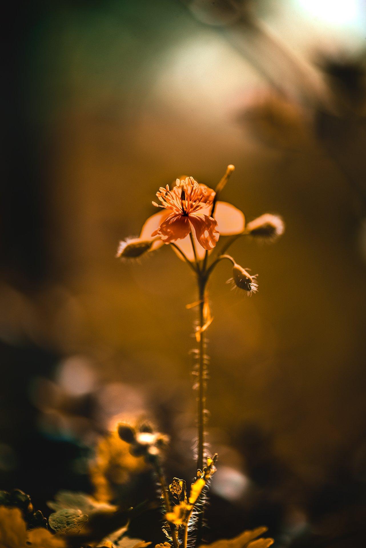 природа, макро, цветы, чистотел, Неля Рачкова