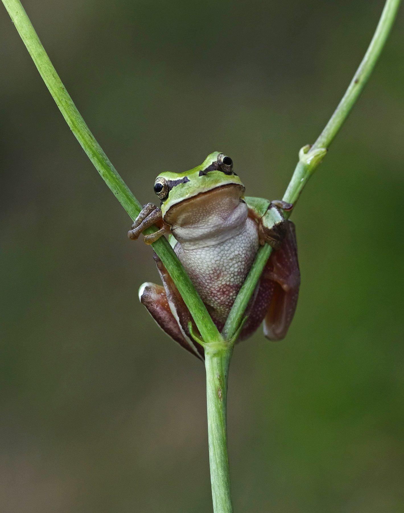 frog, tree frog, humor, macro, animal, graphics, hello, hi, angry frog,, Savas Sener
