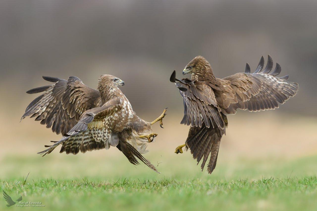 birds, nature, animals, wildlife, colors, meadow, fight, flight, nikon, nikkor, lens, d500, nikkor 300/2.8vr1, lubuskie, poland, Rafał Szozda