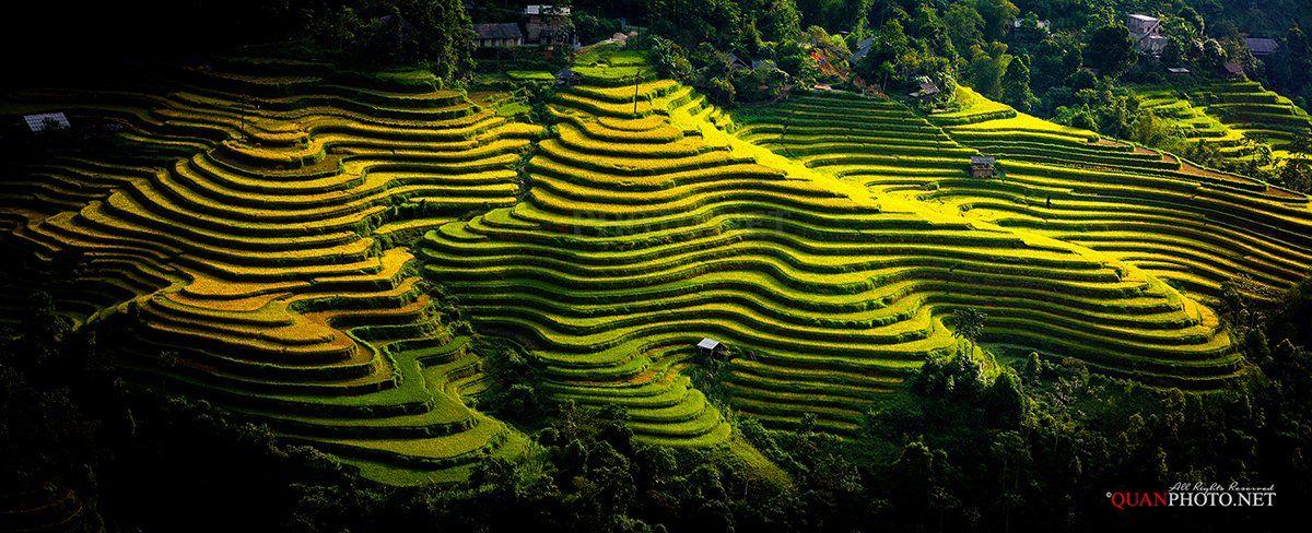 quanphoto, landscape, rice, terraces, golden, harvest, farmland, agriculture, panorama, vietnam, rural, quanphoto