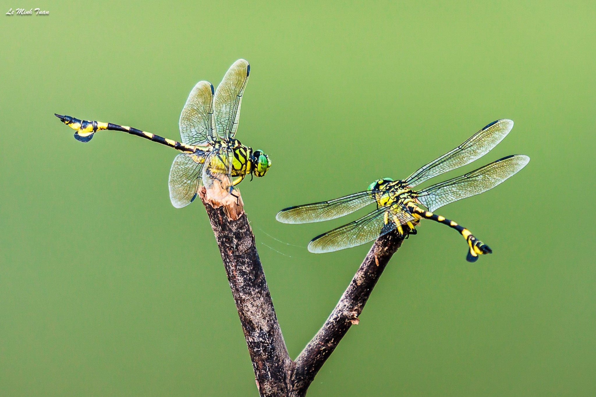 dragonflies, Lê Minh Tuấn