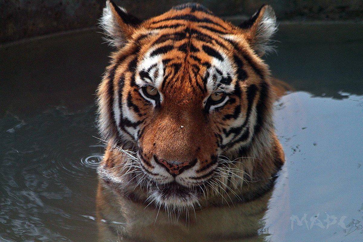 животные тигр амурский тигр сафари-парк, Шангареев Марс