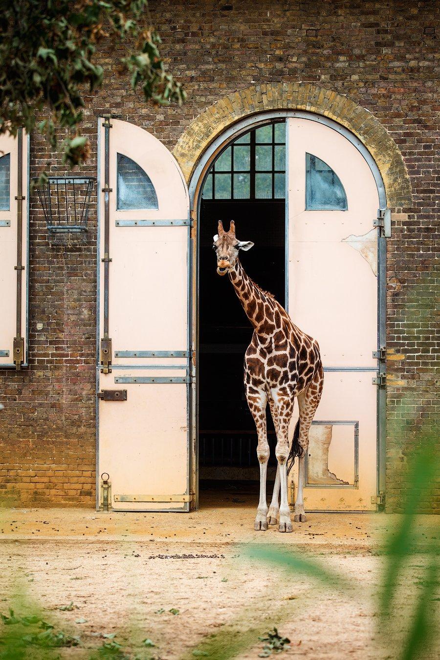 жираф, животные,Лондон,Англия,красота, мир, Оксана