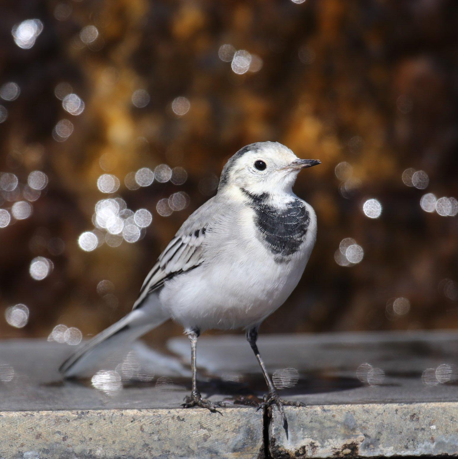белая трясогузка, motacilla alba, птицы, трясогузка, Олейник Игорь